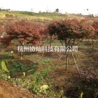 浙江杭州供有大规格红枫12公分到19公分有几百支