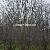 河南许昌河南鄢陵大量供应3-15公分西府海棠