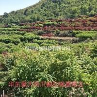 浙江杭州供应精品赤枫3-25公分出售