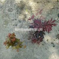 浙江杭州1公分到1.5公分小鸡槭小青枫用作景观盆景...