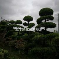 江苏宿迁低价供应各种造型龙柏1一4米高度