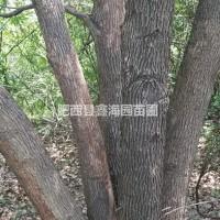 安徽合肥丛生香樟