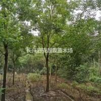 浙江湖州浙江湖州供应5-10公分丛生榉树