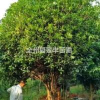 广西桂林广西桂林地区供应10-45公分桂花树