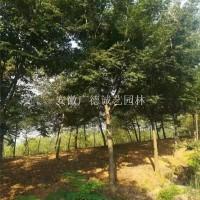 宣城供应10-20公分榉树