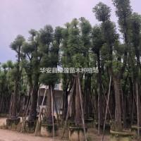 福建漳州骨架香樟