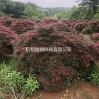 浙江杭州精品羽毛枫大冠幅超厚片子出售7-18公分