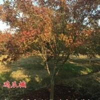江苏宿迁鸡爪槭2-10公分基地直销鸡爪槭产地鸡爪槭...
