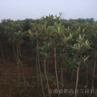 安徽合肥枇杷,专业种植枇杷