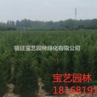 江苏沭阳江苏常年供应规格1米~4米圆柏树