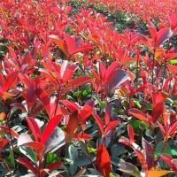 江苏宿迁红叶石楠米径1-8公分,以及红叶石楠小苗