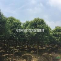 江苏南京高杆女贞,大叶女贞,8公分-18公分女贞树...