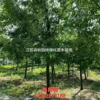 江苏宿迁供应沭阳大量皂角树 有需要联系