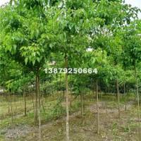 九江3-4-5公分重阳木供应、九江