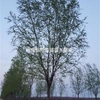 河南许昌河南鄢陵批发,供应3-20柳树