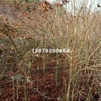 九江3-5公分小叶鸡爪槭最新照片
