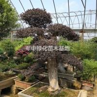 江苏宿迁造型红花继木