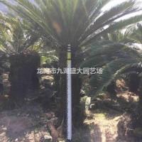 福建漳州苏铁 铁树批发 苏铁价格