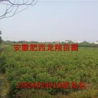 安徽合肥安徽肥西供应当年桂花小苗20万株