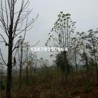 九江米径3-15公分马褂木最新价格