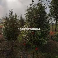 九江冠幅80-100公分茶梅