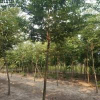 江苏南京胸径10公分/12公分/15公分榉树价格一...