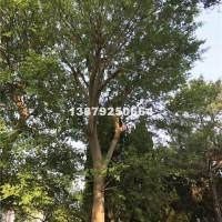 九江30公分朴树优质苗九江出售