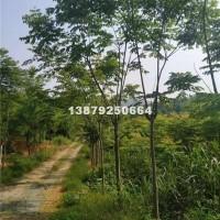 九江黄山栾树6-8-10公分