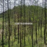 九江水杉哪个地方苗最便宜