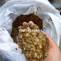 九江木荷种子最新照片