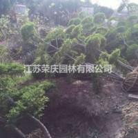 江苏沭阳江苏常年供应1.5米~4米左右小叶女贞造型...