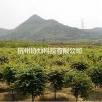 浙江杭州供有小规格鸡爪槭7公分到10公分1000支...