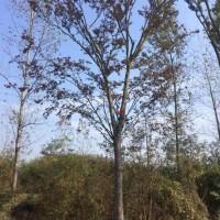 江苏宿迁江苏榉树冬季保暖措施——江苏华丰榉树种植