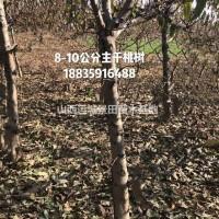 山西运城2019年桃树批发价格·桃树价格走势预测,...