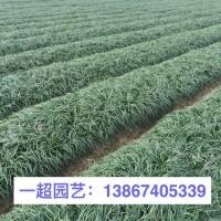 浙江杭州沿阶草 沿阶草大量供应 沿阶草批发