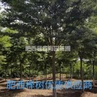 安徽合肥榉树