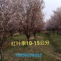 安徽合肥安徽地区供应10-20公分红叶李