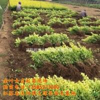 江苏宿迁金叶女贞 低价直销高40-50公分金叶女贞...