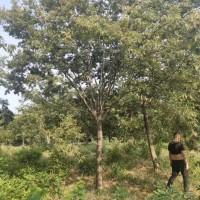 江苏南京2019年榉树价格 10公分12公分榉树价...