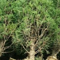 江苏宿迁供应:塔柏、蜀桧、雪松、棕榈、栾树、垂柳、...