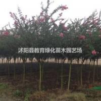 江苏宿迁销售红花紫薇1-10公分.量大优惠