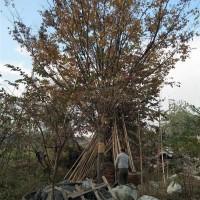江苏苏州朴树 15公分-35公分大量供应
