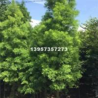 嘉兴供应8-16公分优质落羽杉,海...