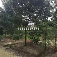 嘉兴供应8-16公分优质榉树,海宁...