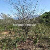 浙江杭州供应冠幅良好的精品垂丝海棠出售