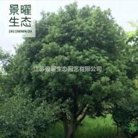 江苏宿迁江苏景曜生态苗木基地/供应/杨梅/图片/产...