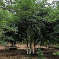 河南南阳丛生容器苗榉树
