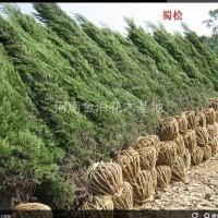 河南许昌河南省许昌市鄢陵县供应50之2米高的河南桧...
