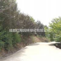 四川成都红叶樱花、红叶樱花销售 、贵州红叶樱花、贵...