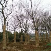 江苏沭阳榉树1行情报价\榉树1图片展示